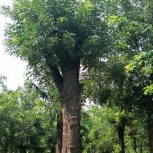 國槐樹種植基地國槐樹價格出售18公分-60公分國槐樹圖片