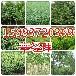 安徽出售杏树苗/桃树苗/馒头柳基地报价159-9372-0369