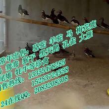 鸳鸯养殖哪家好鸳鸯现在多少钱一对哪里有卖鸳鸯的