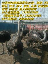 现在大鸵鸟多少钱一只养殖鸵鸟利润多少钱哪里有卖鸵鸟的
