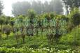 新乡出售五角枫/黄杨球种植基地159-9372-0369