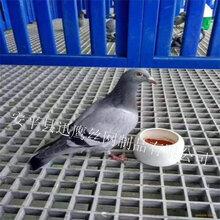 迅鹰鸽舍地网格栅,动物粪便漏粪板,洛阳玻璃钢格栅盖板图片