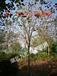 柚子树价格,香泡树价格,银杏树价格,枇杷树价格,花梨树价格,美国红枫