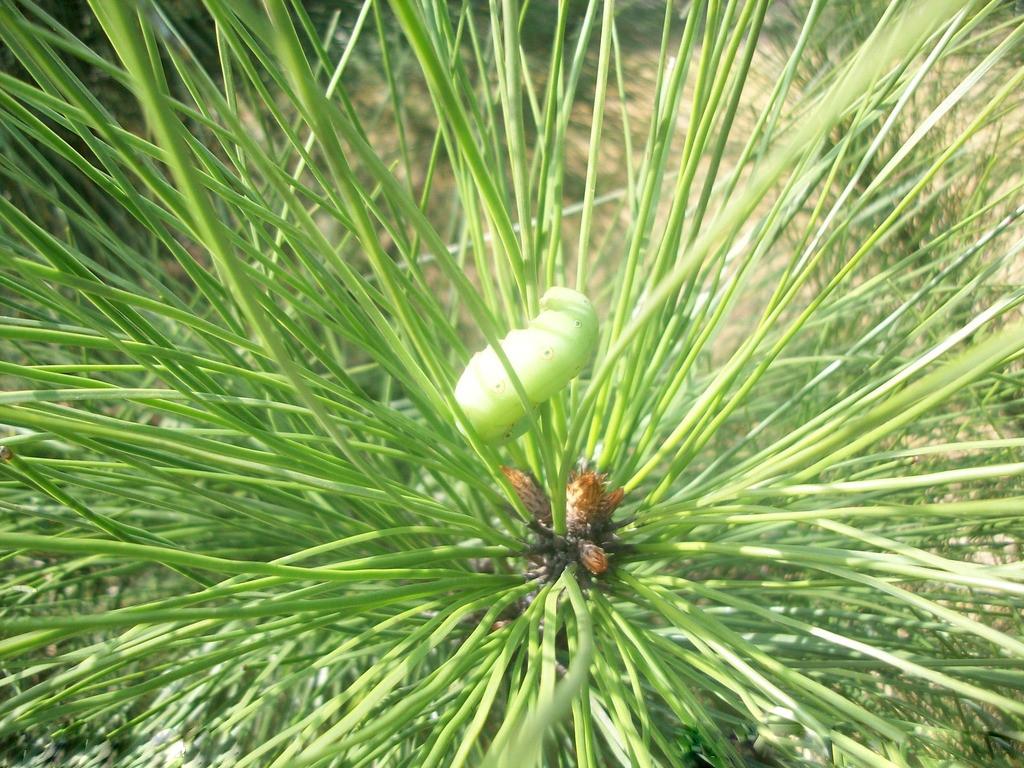 【产品名称】松针提取物花青素 松针叶提取物 【植物】为松科松属植物中的黑松、油松、红松、华山松、云南松、思茅松、马尾松等的针叶提取。 【性 状】淡黄色或棕黄色粉末 【规格】10:1 20:1或根据客户需求 【粒度】100%通过80目 【化学成分】挥发油类、黄酮类、树脂、纤维素、木质素、叶绿素、胡萝卜素、维生素、微量元素等成分。 【产品介绍】近代科技研究发现松针含极其丰富的黄酮类物质和维生素(维生素C、维生素A、-胡萝卜素、维生素E、B族维生素)、多种氨基酸和矿物元素,可防治流感、夜盲症、风湿症和强身健体。