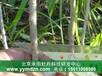 高产韩国大果枸杞苗多少钱一亩