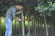 长葛市附近地区3公分栾树多少钱一棵159-9372-0369