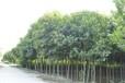 许昌周边供应6公分大叶女贞价格159-9372-0369