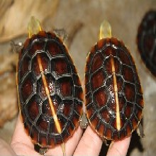 供应黄缘盒龟,安微黄缘,黄缘闭壳龟,黄缘价格