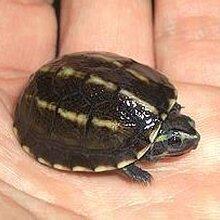 供应果核龟,果核泥龟,果核龟批发图片