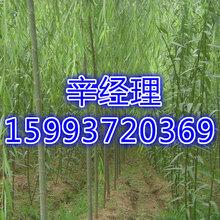 金華出售法桐/國槐價格參考159-9372-0369