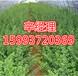濮阳热销黄杨球/法桐树苗价格159-9372-0369