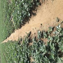 精品推荐小白草莓苗能保证品种的红袖添香草莓苗繁育基地图片