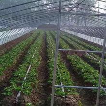 能签订苗木购销合同的白草莓红袖添香草莓苗报价,妙香草莓苗生产厂家图片