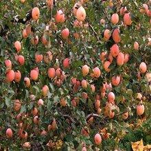 鸡心果苗、专供夏红苹果树苗图片