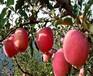 烟富3号苹果苗、怎样选购红富士苹果树苗