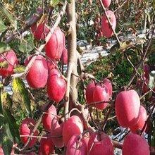 藤木1号苹果苗、签合同的红科普苹果树苗供货商图片