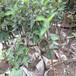 中秋王苹果苗、秦冠苹果苗一亩田种多少棵