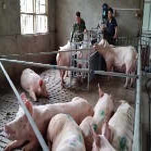 威海母豬智能飼喂系統暢銷品牌價格實惠正品貨源圖片