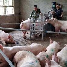 威海母猪智能饲喂系统畅销品牌价格实惠正品货源图片