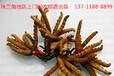 三水回收冬虫夏草-大批量收购虫草
