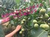 当年栽植可以结果的核桃,冠核一号核桃苗抗病强好管理