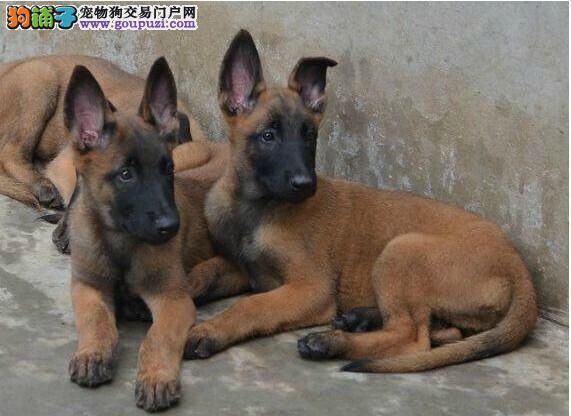 黑卡斯罗犬价格