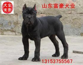 浙江温州现在莱州红犬价格