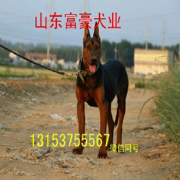 江苏徐州济宁莱州红犬价格
