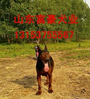 浙江丽水莱州红犬驯养专业户