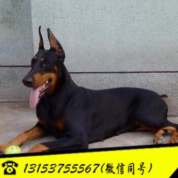 贵州黔东南苗族侗族自治州我要买小杜宾犬