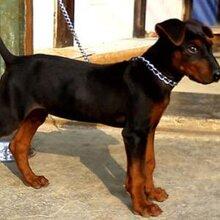 现在的莱州红犬幼犬多少钱三四个月的幼犬价格图片