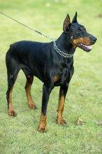 四川省南充最新莱州红犬价格图片
