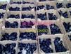 绿壳蛋鸡苗纯种黑羽五黑鸡蛋鸡苗,五黑一绿绿壳蛋鸡鸡苗出售