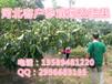 核桃樹種植距離核桃樹幾月份栽植最好核桃樹苗什么時候栽植
