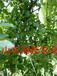 新農業經濟致富之路——種植核桃樹