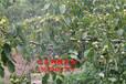 核桃樹的產量一棵核桃樹的產量什么核桃樹品種產量高