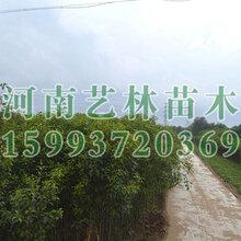西安附近销售3公分栾树苗木基地159-9372-0369
