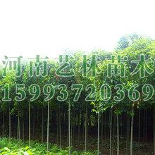 巩义市周边供应5公分大叶女贞电话159-9372-0369
