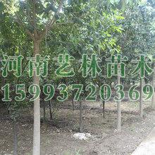 南阳市附近销售5公分核桃树苗圃159-9372-0369