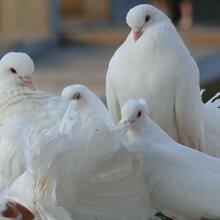 米马斯双肌鸽米马斯种鸽价格图片