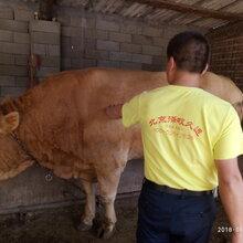 牛抗应激添加剂牛羊过料用什么产品羊热应激饲料