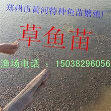 河南郑州常年批发优质草鱼苗鲤鱼苗大量欢迎订购
