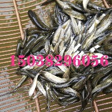 河南草魚苗養多長時間成商品魚體重草魚苗喂啥飼料圖片