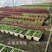 山东威海盆栽蔬菜基地批发盆栽有机蔬菜价格加盟