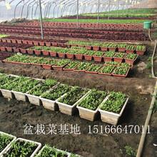 山东威海盆栽蔬菜基地批发盆栽有机蔬菜价格加盟图片