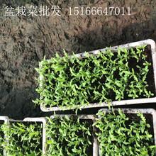 山东潍坊盆栽蔬菜基地种植盆栽蔬菜批发盆栽有机蔬菜图片