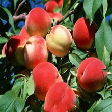 供應水蜜桃圖片