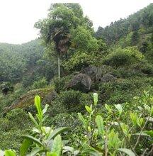 供应特级武夷山红茶图片