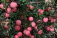 红星苹果产地山东新红星苹果批发基地