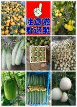 供應莘縣東方密洋香瓜甜瓜圖片